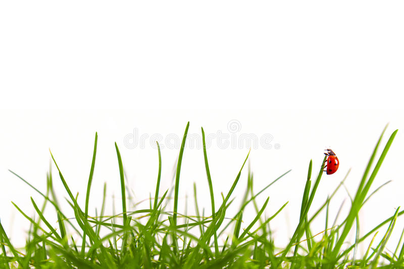 Green grass and ladybug. Green grass and ladybug isolated royalty free stock photography