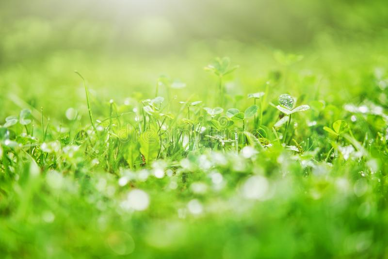 Green lawn after a rain royalty free stock photo