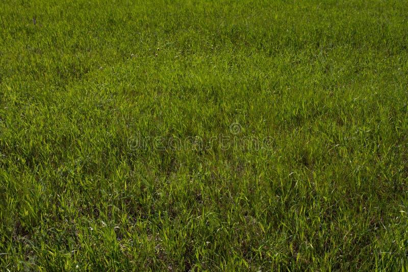Green grass on the lawn, grass texture. Green grass on the lawn, texture stock photos