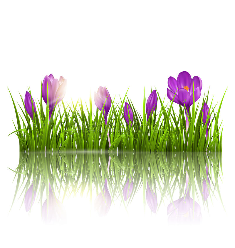 Free Green Grass Lawn, Violet Crocuses And Sunrise With Reflection On Stock Image - 51661891