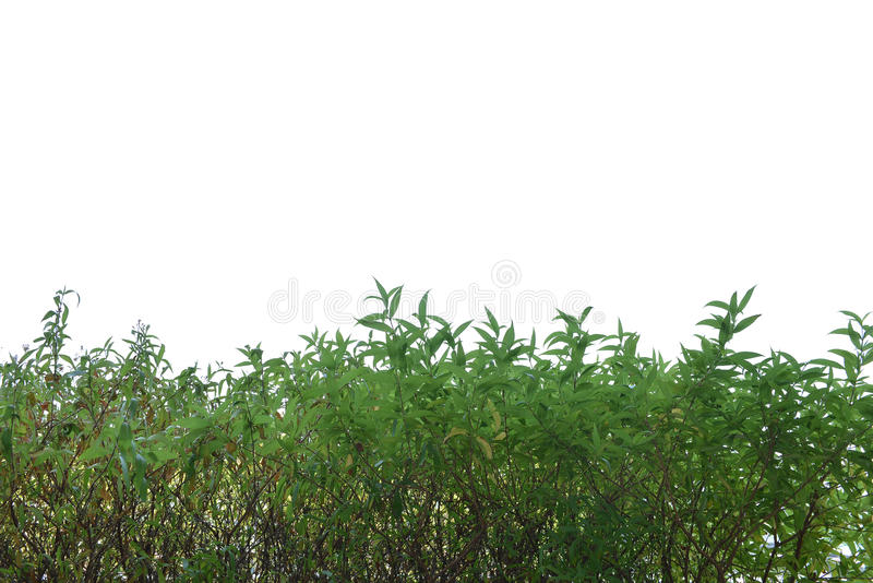 Green grass lush bush isolated on white background royalty free stock photo