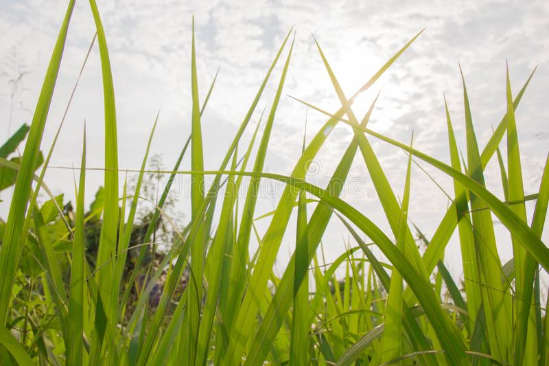 Green Meadow Close-Up With Bright Sunlight. Sunny Spring Background.grass stock photos