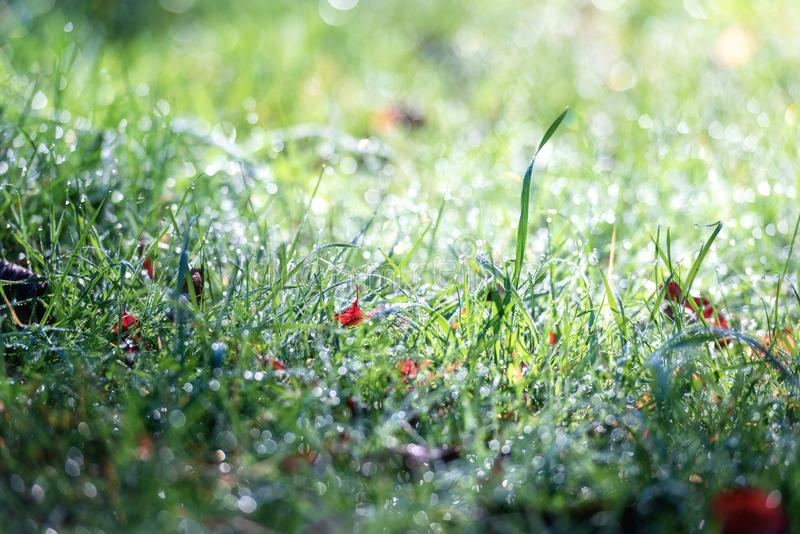 Green grass in the morning dew, lovely garden, natural seasonal background. For wallpaper royalty free stock images