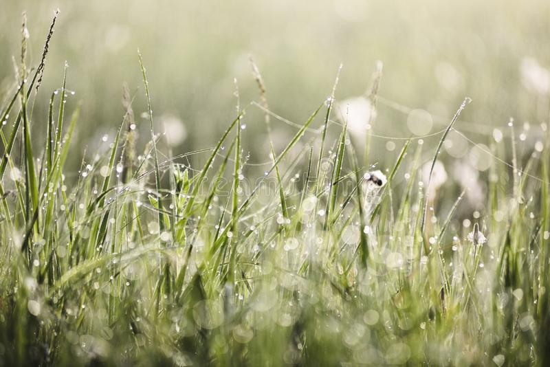 Green grass in morning dew and spider webs with bokeh texture background. Selective focus stock photo