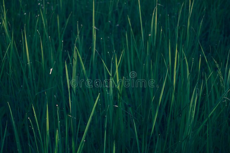 Green grass natural background texture royalty free stock image