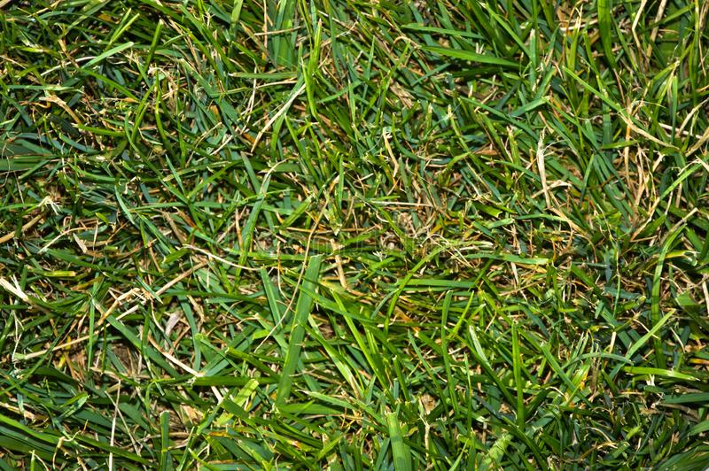 Green grass texture suitable for background. Natural, flora. royalty free stock photography