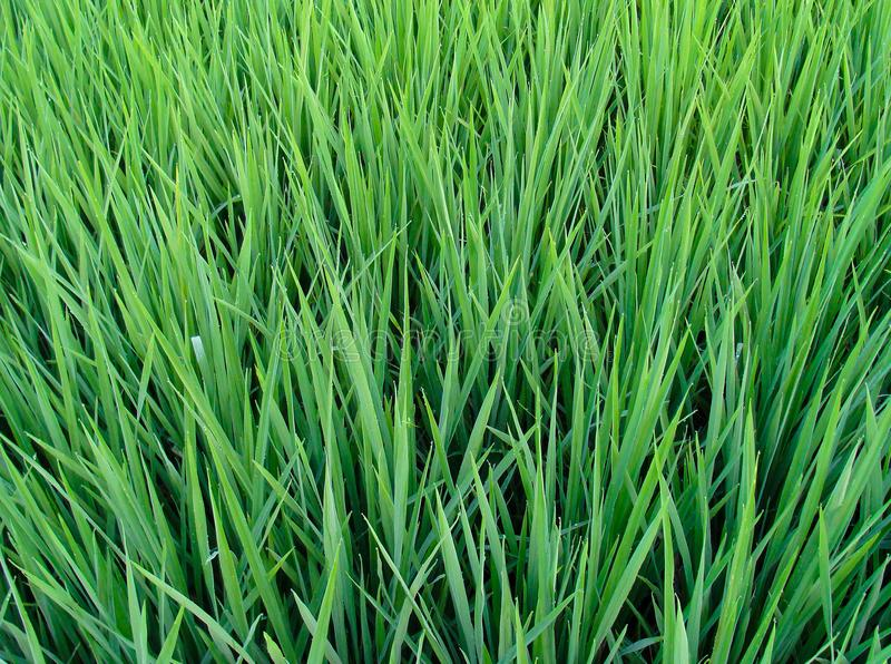 Green Grass Paddy Field stock images