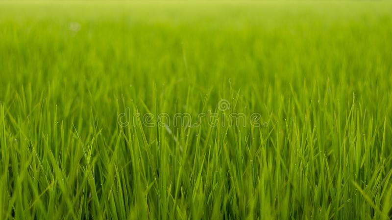 Green grass of paddy fields stock image