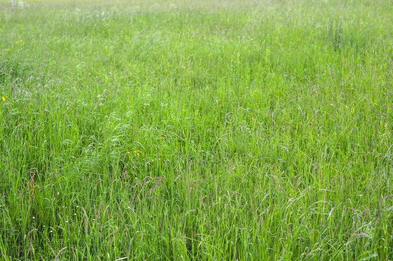 Green grass photo background or texture. Close-up image of fresh long spring green grass. Beautiful bright field of green grass. royalty free stock image