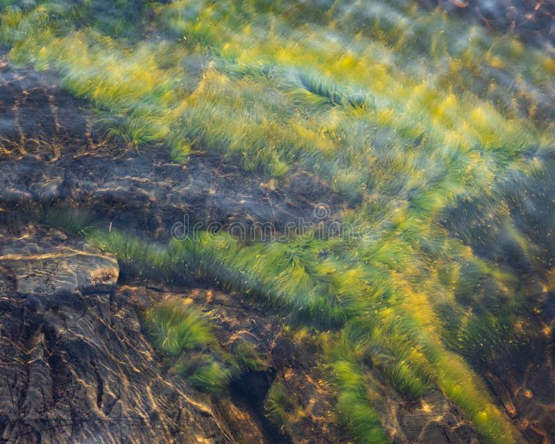 Green grass plant growing underwater on bedrock stock photography