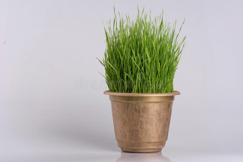 Green grass in the plant pot on white background royalty free stock photography