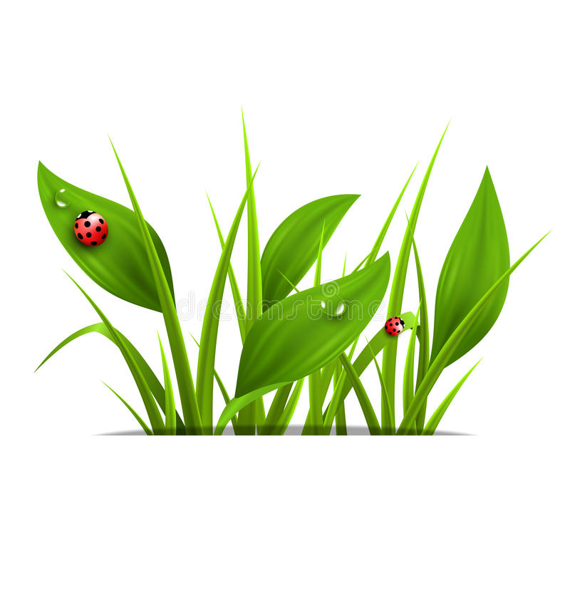 Green grass, plantain and ladybugs isolated on white. Floral nat. Ure spring background royalty free illustration