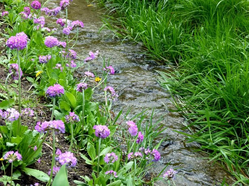 Small stream of clear water with grass and flowers on the shore. Green grass and purple flowers line a stream, Idyllic stream in a meadow with purple flowers on stock images