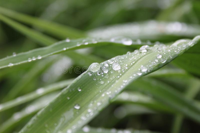 Green grass with rain drops royalty free stock photography