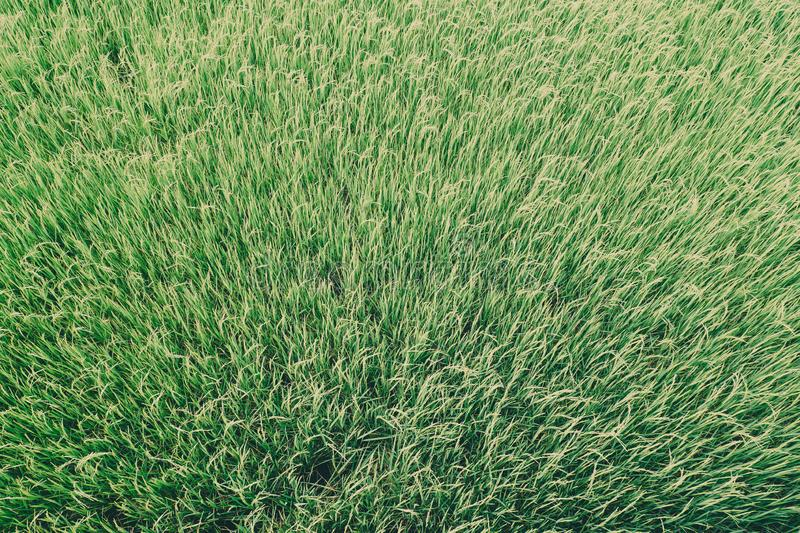 Green grass rice field texture background for spring or summer and World Earth Day concept save environment clean idea.  royalty free stock photography