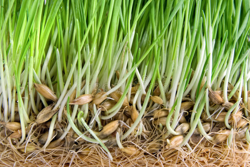 Download Green Grass With Roots Royalty Free Stock Photo - Image: 13768385