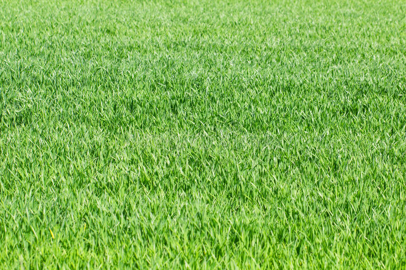 Green grass, rye, wheat field, meadow, pasture background as spring awekening growth concept. Green grass, rye, wheat field, meadow, pasture background as spring stock photo