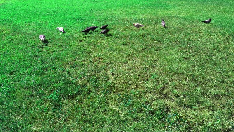green grass and several pigeons stock photo