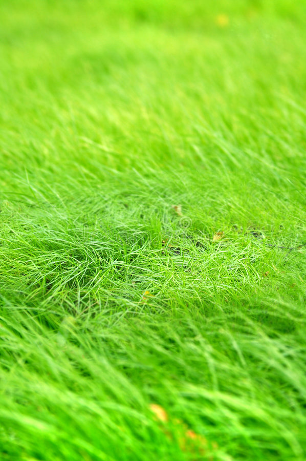 Green grass (Shallow DOF) royalty free stock photo