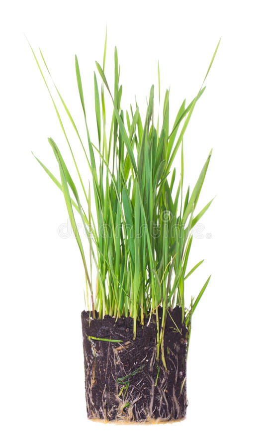 Download Green grass showing roots stock photo. Image of piece - 25945844