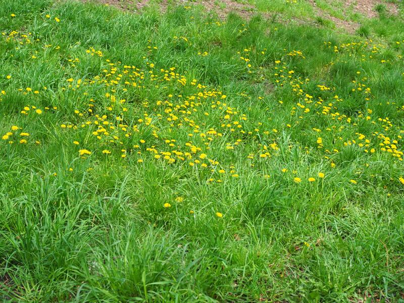 Green grass with small yellow flowers in view from above.  royalty free stock photos