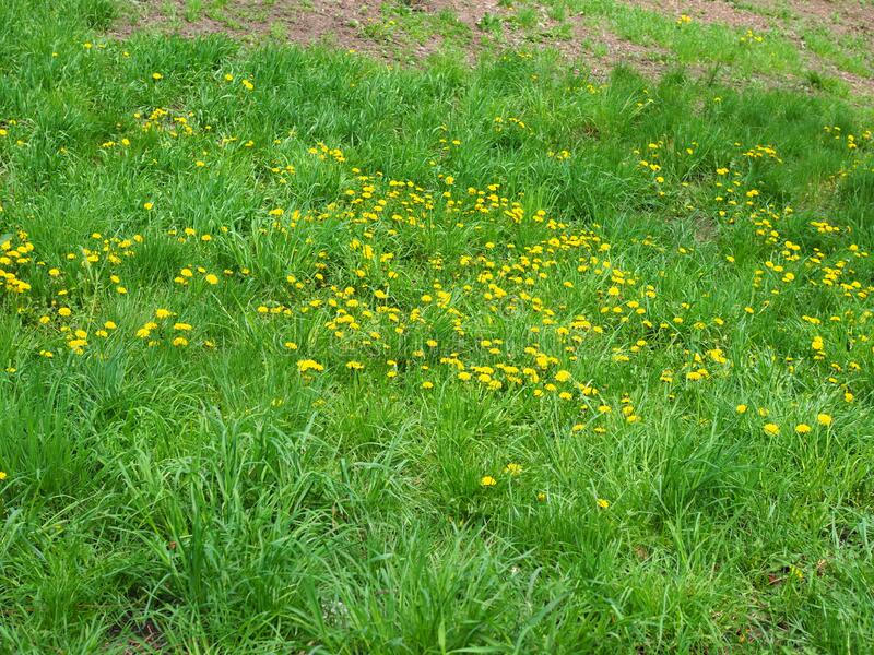 Green grass with small yellow flowers in view from above.  stock photography
