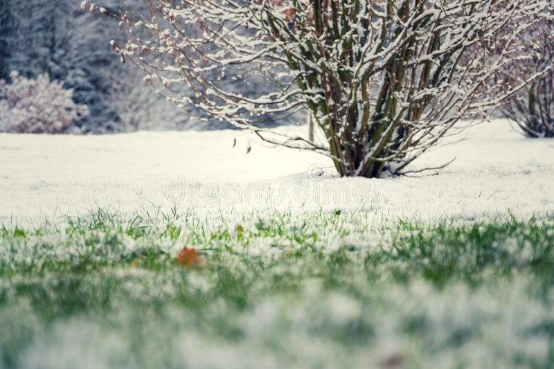 Green grass in snow, bush in background, Hello spring concept stock images