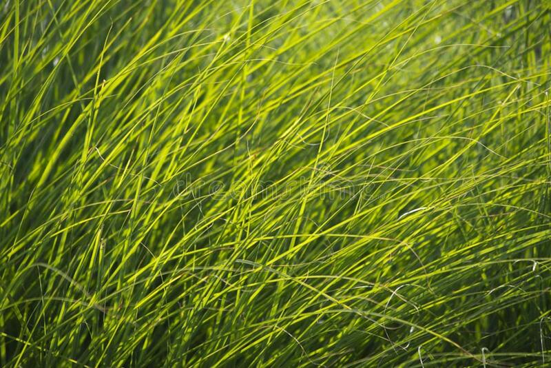 green grass in soft light stock image