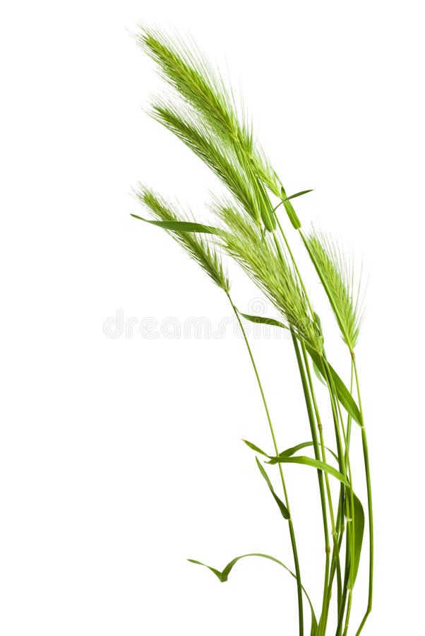 Green grass spikelet. Isolated on white background stock photography