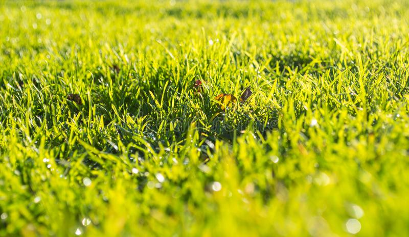 Green grass on a spring morning with dew drops on blades. stock photography