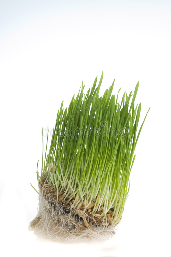 Download Green Grass  Sprout Of Wheat Over White Stock Image - Image: 4791959