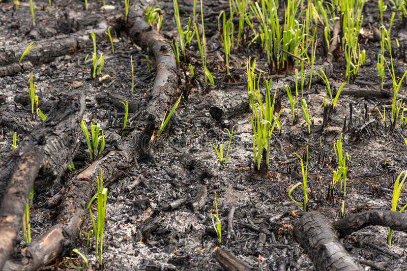 Green grass sprouts sprout through the ashes after a fire in a coniferous forest background texture royalty free stock photos