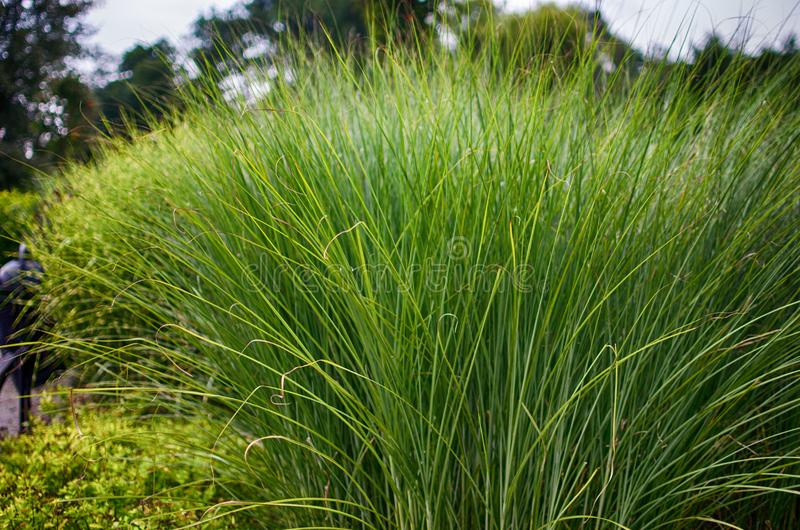 Green grass stem growing outdoors royalty free stock image