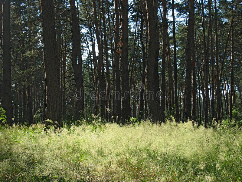 Green grass in summer pine forest royalty free stock photos