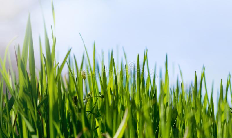 Green grass on a sunny spring day royalty free stock photography