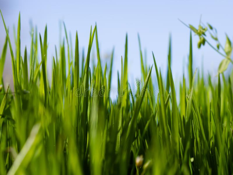 Green grass on a sunny spring day royalty free stock image