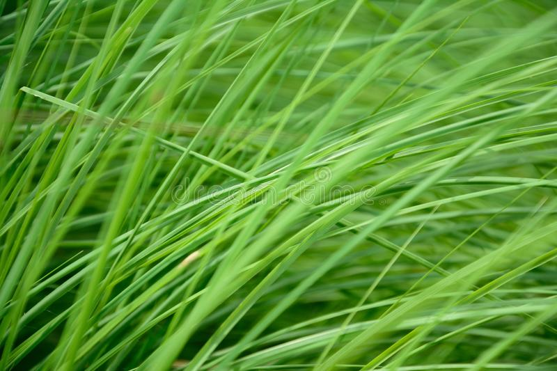 Green grass swaying in the wind royalty free stock images