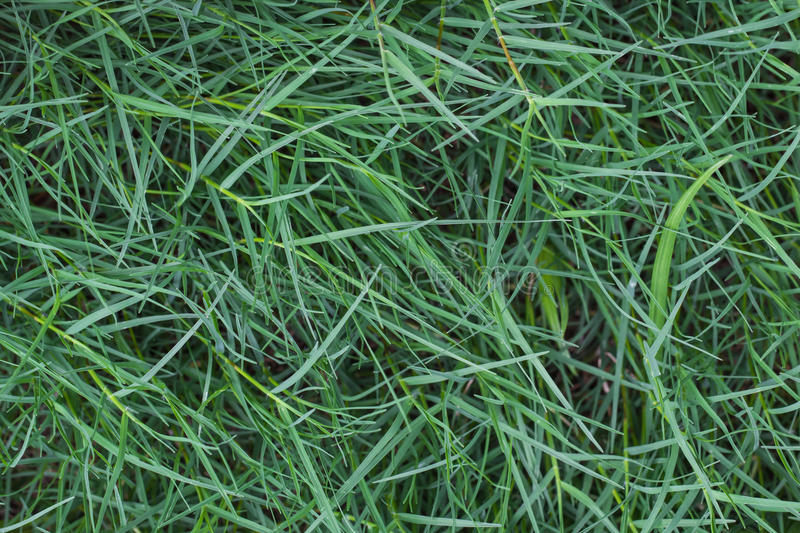 Green grass texture. And background royalty free stock photos