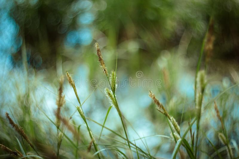Green grass texture and background with bokeh on Sunny day. Bright juicy sedge grass on green blue yellow blurred stock images