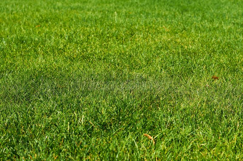 Green grass texture background, clean meadow field. Green grass texture background, clean meadow field royalty free stock photos