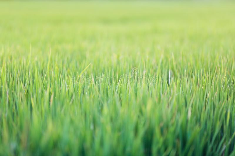 Green grass texture background, Green lawn, Backyard for background, wallpaper, Green lawn desktop picture, Park lawn texture. Wet stock images