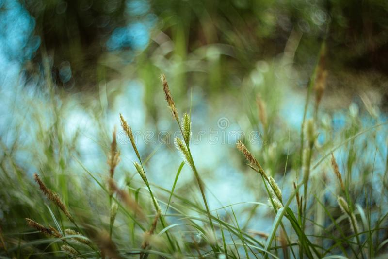 Green grass texture and bokeh background. Bright juicy sedge grass on green blue yellow blurred background close-up royalty free stock images