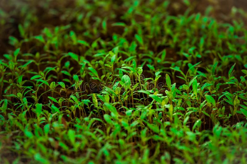 Green Grass in Tilt Shift Lens Photography royalty free stock photography