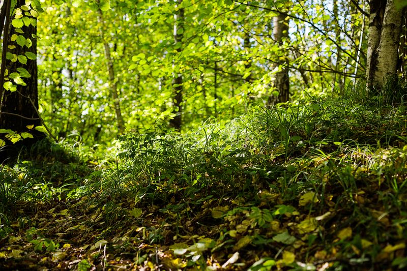 Green grass and trees in the park or wood. Sun beams through the leaves. Green grass and trees in the park or wood in the sunny weather royalty free stock photo