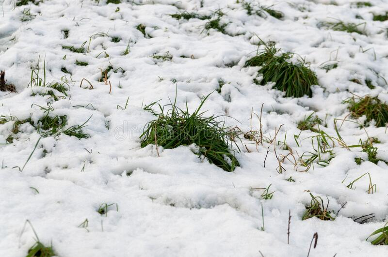 Green grass under the snow royalty free stock photo
