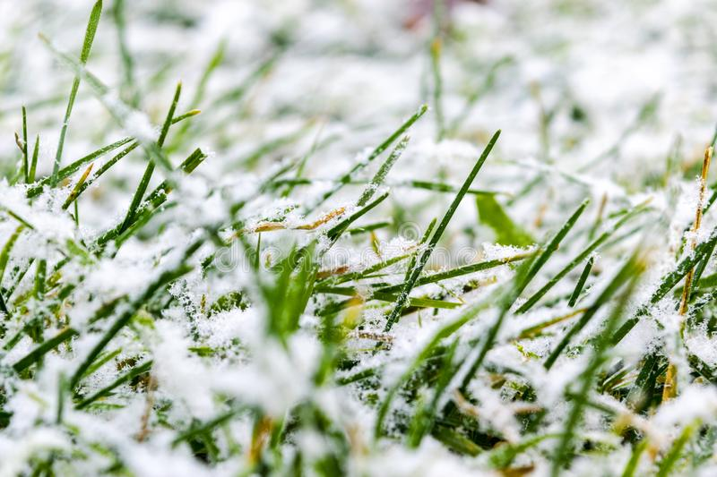 Green grass under the snow. Grass covered with snow. White snow and green grass background. Grass on a meadow covered with snow. W stock image