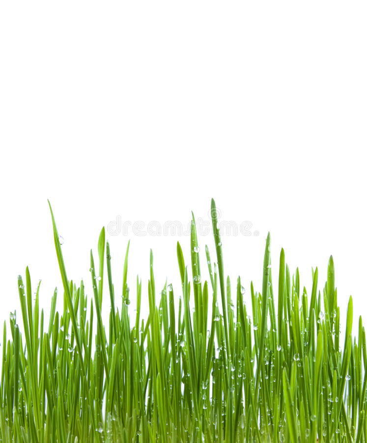 Green Grass With Water Drops Isolated Royalty Free Stock Images
