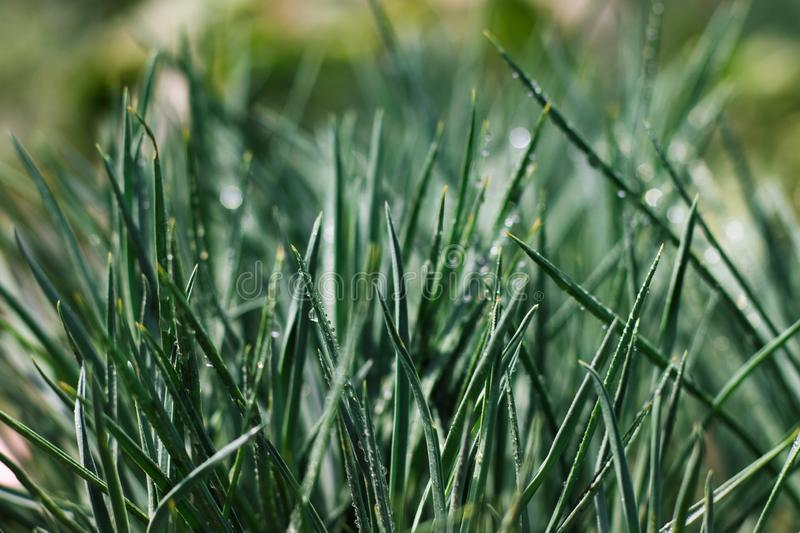 Green grass with water drops. Summer or spring morning. Horizontal image with blurred background royalty free stock photos