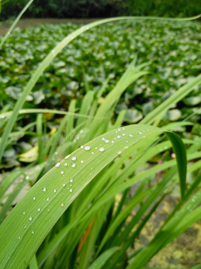 Green grass with waterdrop. Close-up, greenhouse stock image