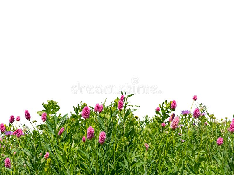 Green grass and wild flowers border isolated on white background stock photos